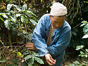 A Hmong ethnic minority woman in Ban Long Lan harvests Arabica coffee cherries for 'Saffron coffee', Luang Prabang province, Lao PDR. The coffee is grown in the high mountain peaks and plateaus in Luang Prabang over 800 meters above sea level. In November, December and January Saffron Coffee coffee farmers gather all of their family members to hand pick only the red-ripe cherries. It will take several passes over these few months to harvest all of them. These farmers were once producers of opium, but who have been impoverished by lack of a replacement crop in the wake of opium's prohibition by the Lao government. Saffron Coffee's goal in helping these farmers grow coffee is to give them a viable and sustainable cash crop, developing their economy, and thus giving them the ability to buy medicines and send their children to school.