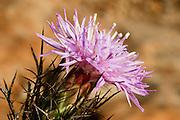 Israel, Cirsium alatum