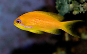 Wreckfish or Lyretail Anthias, Pseudanthias squamipinnis. Female.