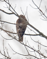 Hawk. Image taken with a Nikon D850 camera and 600 mm f/4 VR lens.