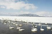 Whooper swan, Cygnus cygnus, lake Kussharo-ko, Hokkaido Island, Japan, japanese, Asian, wilderness, wild, untamed, ornithology, snow, graceful, majestic, aquatic.