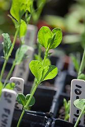 Sweet pea seedlings growing in small plastic pots. Lathyrus odoratus