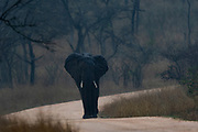 Ghost-elephant.  Angry African elephant (Loxodonta africana) walking the road in Kruger NP, South Africa, during dusk.