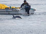 EXCLUSIVE <br /> Caught on Camera how Japans Dolphin killers capture these loving animals,Striped Dolphin's corned and captured for Slaughter <br /> <br /> Japan,  9 of the ruthless hunting vessles found a very large pod of striped dolphins.  After putting up a very long fight, with many family members escaping, the unfortunaterest of the pod was fatigued and unable to continue the fight and sadly the murderers of Taiji were able to slaughter between 34-36 striped dolphins.<br /> This was the 21st drive/slaughter of 2016 and the 40th for the entire season.<br /> <br /> Photo shows: One of the family members makes a run for it, but it is a futile effort.<br /> ©Sea Shepard/Exclusivepix Media