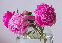 THEMENBILD - pinke Pfingstrosen (Paeonia) in einer Glasvase, aufgenommen am 09. Juni 2018, Kaprun, Österreich // pink peonies (Paeonia) in a glass vase 2018/06/09, Kaprun, Austria. EXPA Pictures © 2018, PhotoCredit: EXPA/ Stefanie Oberhauser
