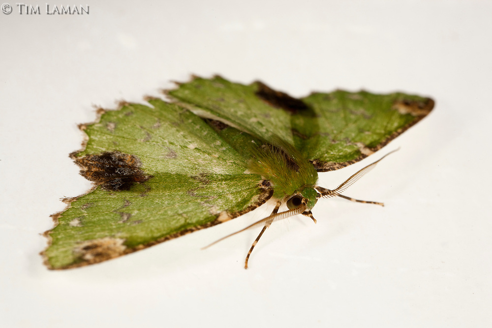 Moth attracted to light trap at the Bog Camp site at 1650 m in the Foja Mountains rain forest.