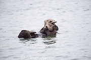 a mother California sea otter or southern sea otter, Enhydra lutris nereis ( threatened species ) cuddles her pup, Elkhorn Slough, Moss Landing, California, United States ( Eastern Pacific )