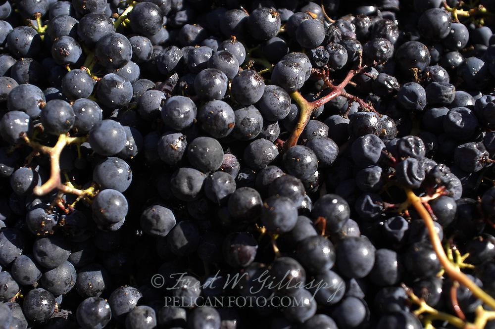 Wine Grape Harvest 0017