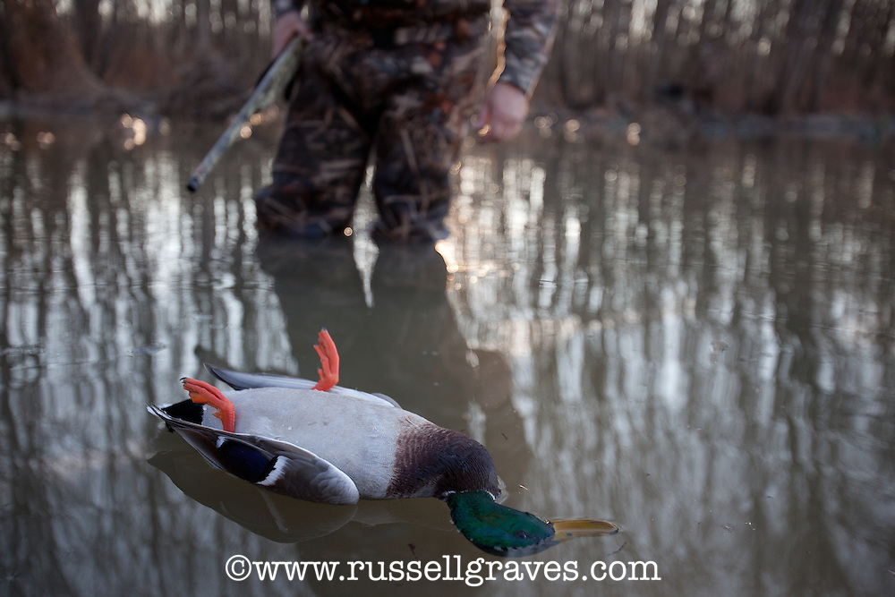 hunter retrieving a dead mallard