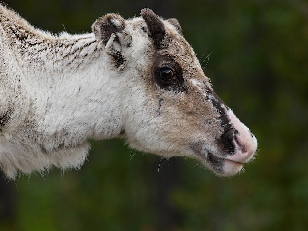 Finland Lapland - Young reindeer portrait