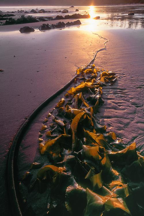 Kelp design, evening light, Shi Shi Beach, Pacific Coast, Olympic National Park, Washington, USA