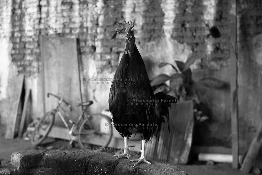 ENG:<br /> A rooster that won several fightings now is free in his owner garden<br /> ITA:<br /> Un gallo dopo aver vinto vari incontri viene lasciato libero, in pensione.