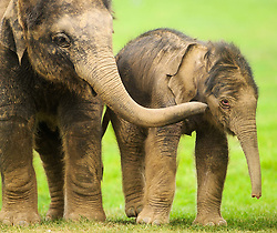 © Licensed to London News Pictures. 18/09/2014 London, UK. A two day old baby elephant (right) meets his three year old brother Scott at Whipsnade Zoo, Beds. The male calf  was born on September 16th to fourth time mum 30 year old Azizah and weighs in at 133kg. The as yet unnamed male was unusually born outside amongst the ten strong Whipsnade herd.  Photo credit : Simon Jacobs/LNP