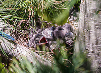 Blue Jays (Cyanocitta cristata) baby checks in nest.