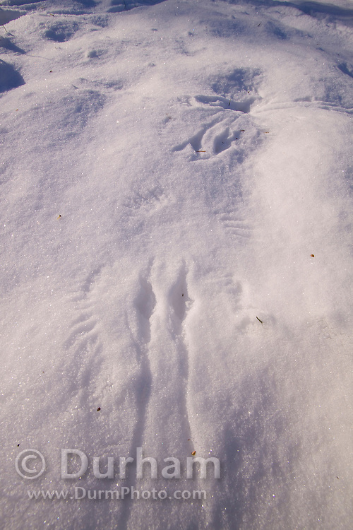 Small mysterious tracks photographed after a winter storm on the North Coast Land Conservancy, Circle Creek property. Oregon Coast.