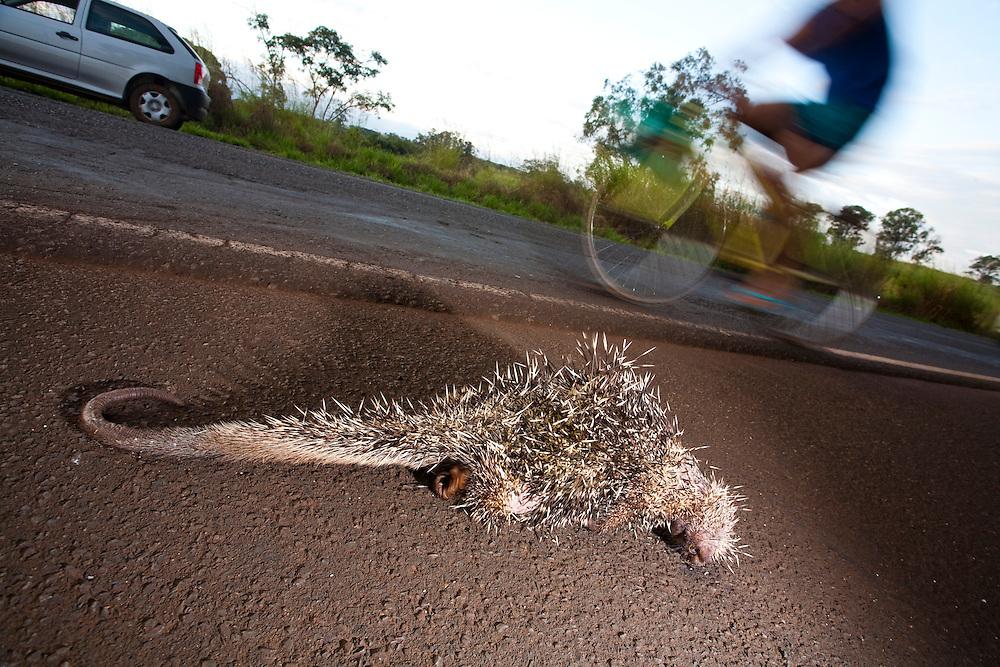 Uberaba_MG, Brasil...Porco espinho morto na BR-262 em Uberaba...The porcupine death on the BR-262 in Uberaba...Foto: LEO DRUMOND / NITRO
