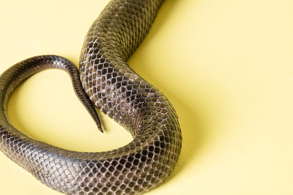 Detail of the scales of a black rat snake.