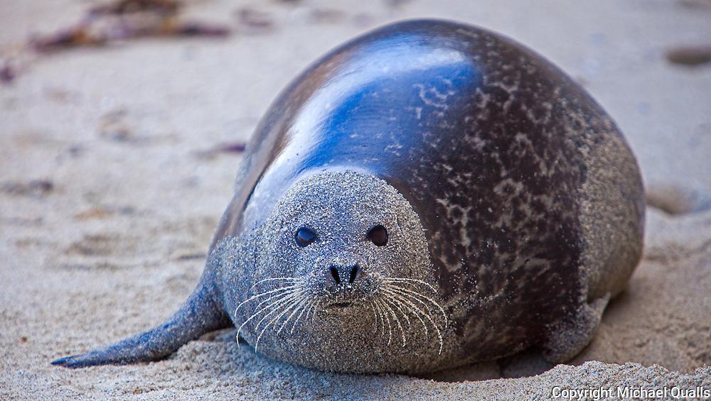 Harbor seal at La Jolla Children's Pool.
