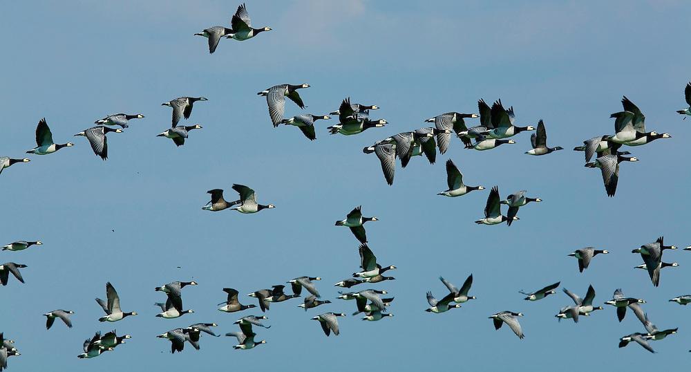 25.04.2009<br /> Barnacle Goose (Branta leucopsis) apácalúd<br /> Westerhever, Germany