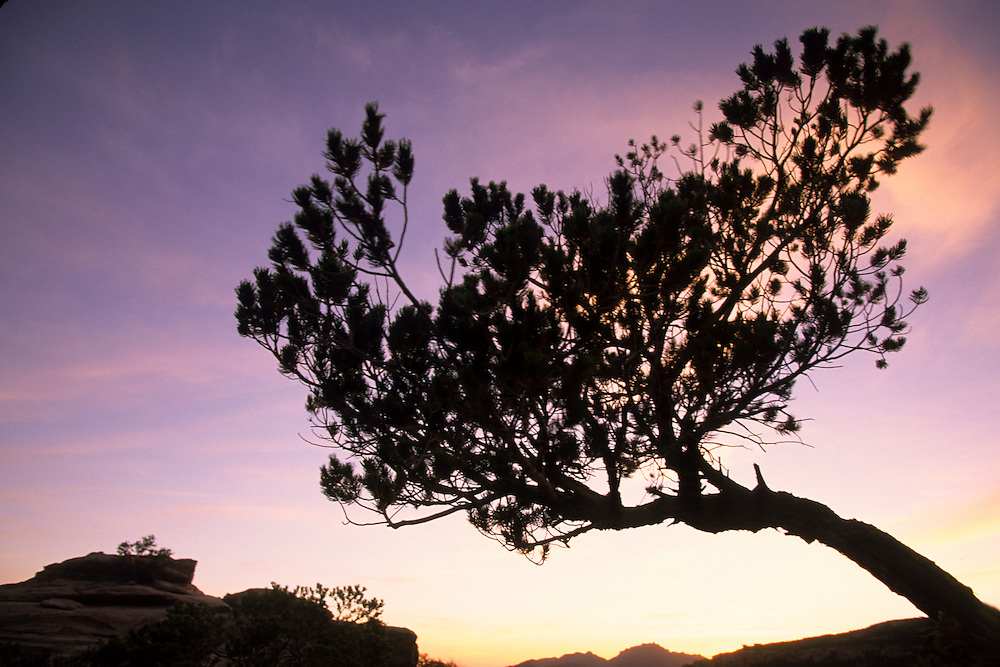 North America, United States, Arizona, Tucson, tree silhouette at sunset