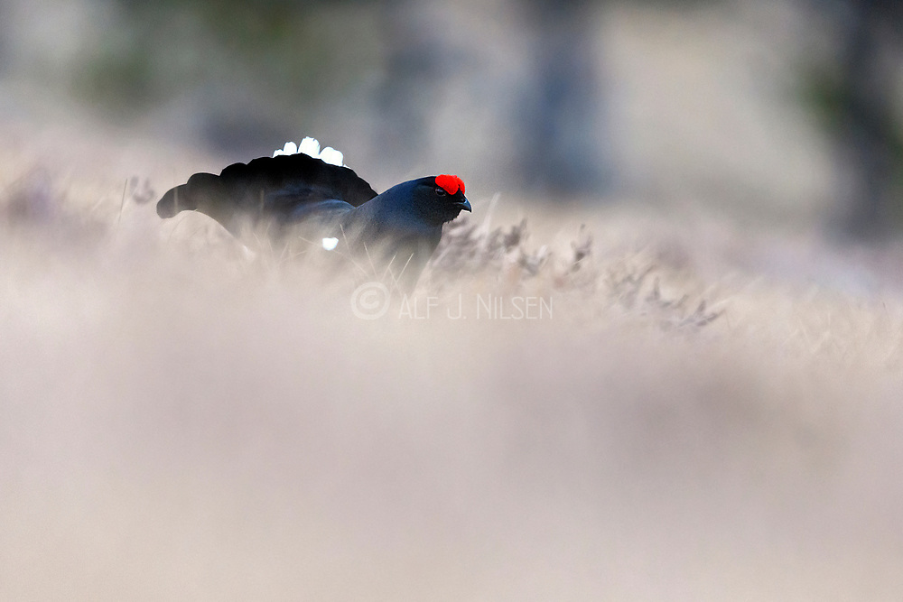 Black grouse (Lyrurus tetrix, male) displaying one early morning in April. Photo from southern Norway.