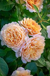 Rosa Grace syn. 'Auskeppy' AGM