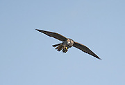 This photograph demonstrates the Hobby's behaviour of eating on the wing. The bird has lifted its prey to its beak, bending its head in the process. It's no accident that it is considered to be a stronger flyer than any other falcon.