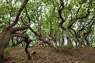 snaggy oak trees in the nature reserve de Manteling near Domburg on the peninsula Walcheren, Zeeland, Netherlands.<br /> <br /> knorrige Eichen im Naturschutzgebiet de Manteling bei Domburg auf Walcheren, Zeeland, Niederlande.