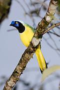 Ecuador, May 23 2010: Inca Jay (Cyanocorax y. yncas). Images from Cabanas San Isidro. Copyright 2010 Peter Horrell