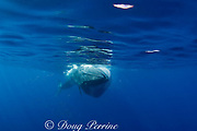 Bryde's whale, Balaenoptera brydei or Balaenoptera edeni, with throat pleats expanded after engulfing part of a baitball of sardines, Sardinops sagax, off Baja California, Mexico ( Eastern Pacific Ocean ), #3 in sequence of 6 images