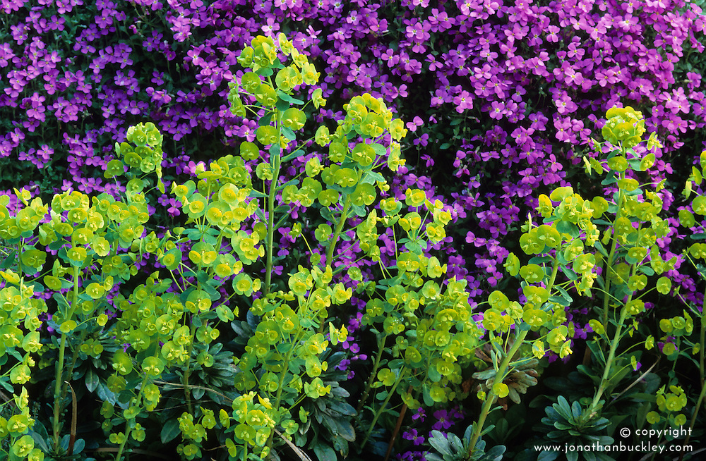 Euphorbia amygdaloides var robbiae in front of aubretia at Great Dixter. Spurge, Milkweed