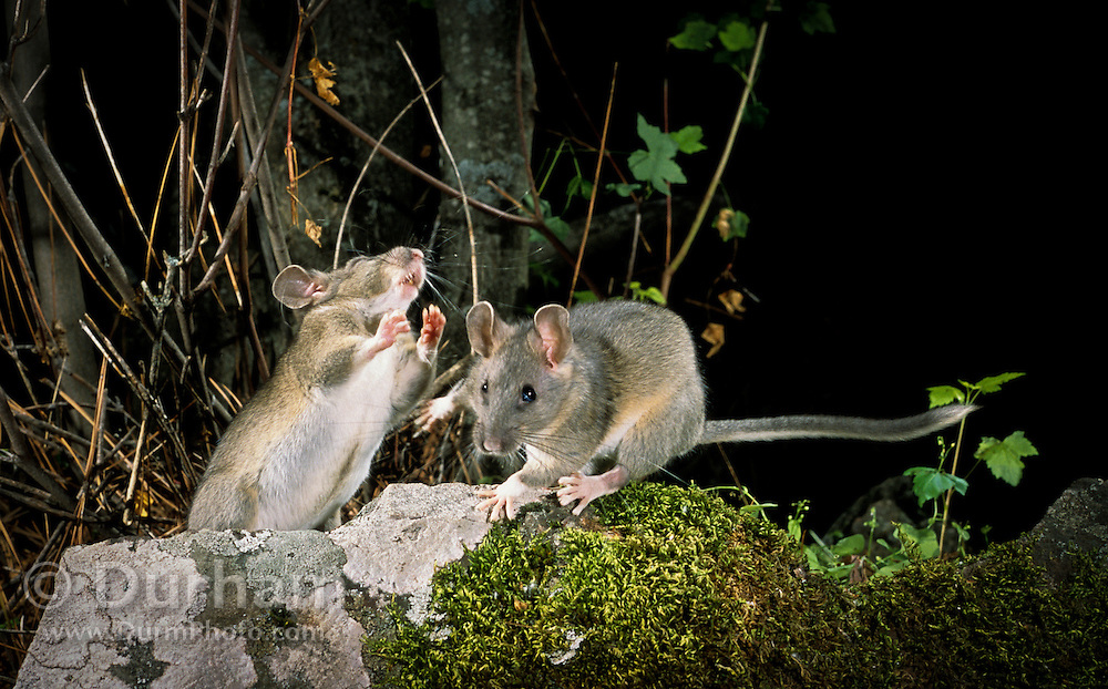 A pair of young bushy-tailed woodrats (Neotoma cinera) get into a scrap - at night in Camp Creek Canyon in The Natuer Conservancy's Zumwalt Prairie Perserve. NE Oregon.