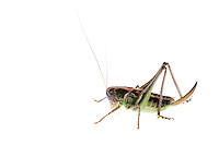 IFTE-NB-007391; Niall Benvie; ?Decticus verrucivorus; Austria; grasshopper; Europe; Tirol; Fliesser Sonnenhänge; insect invertebrate arthropod; horizontal; high key; green white; controlled; female; one; upland grassland meadow; 2008; July; summer; strobe backlight; Wild Wonders of Europe Naturpark Kaunergrat