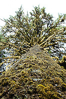 Sitka Spruce Tree. Hoh River Rain Forest. Olympic National Park, WA