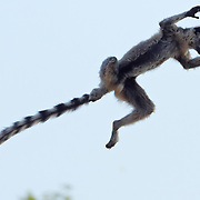 Ring-tailed lemur leaping from one tree to another. Berenty Reserve, Madagascar