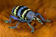 Weevil, Eupholus magnificus, Yapen island, Western New Guinea, Indonesia, captive