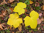 Fall colors of Thimbleberry, Rubus parviflorus, forest floor north of Bowman Lake, Glacier National Park, Montana.