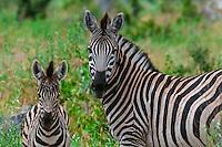 Herd of zebras, Kwando Concession, Linyanti Marshes, Botswana.
