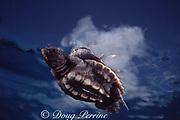 loggerhead turtle, Caretta caretta, hatchling in open ocean off Florida ( Western Atlantic Ocean )