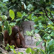 Orangutan, (Pongo pygmaeus) Sitting on floor of rain forest. Northern Borneo. Malaysia. Controlled Conditons.