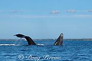 humpback whale, Megaptera novaeangliae, calf breaching as mother dives, Kihei, Maui, Hawaii, Hawaii Humpback Whale National Marine Sanctuary, USA ( Central Pacific Ocean )
