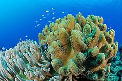 Sinularia sp., Variable Finger Lederkoralle, Variable finger leather coral,  Pemuteran, Bali, Indonesien, Asien, Indopazifik, Indonesia, Indo-Pacific Ocean, Asia