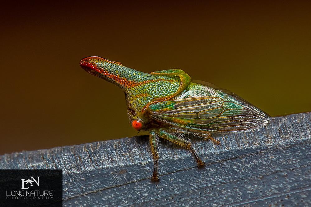 Platycotis vittata - Oak Treehopper