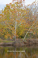 63876-02808 Fall color Sycamore trees at Pyramid State Park Perry Co. IL