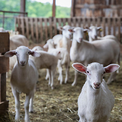 Sheep in a barn at Clarke Farm, Epping, New Hampshire.
