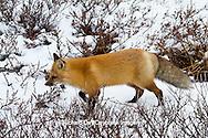 01871-02811 Red Fox (Vulpes vulpes) in snow in winter, Churchill Wildlife Management Area, Churchill, MB Canada