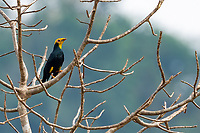 The golden-crested myna (Ampeliceps coronatus) is a species in the starling and myna family, Sturnidae. Its main habitat is subtropical or tropical moist lowland forest, but it is also found in heavily degraded former forest.