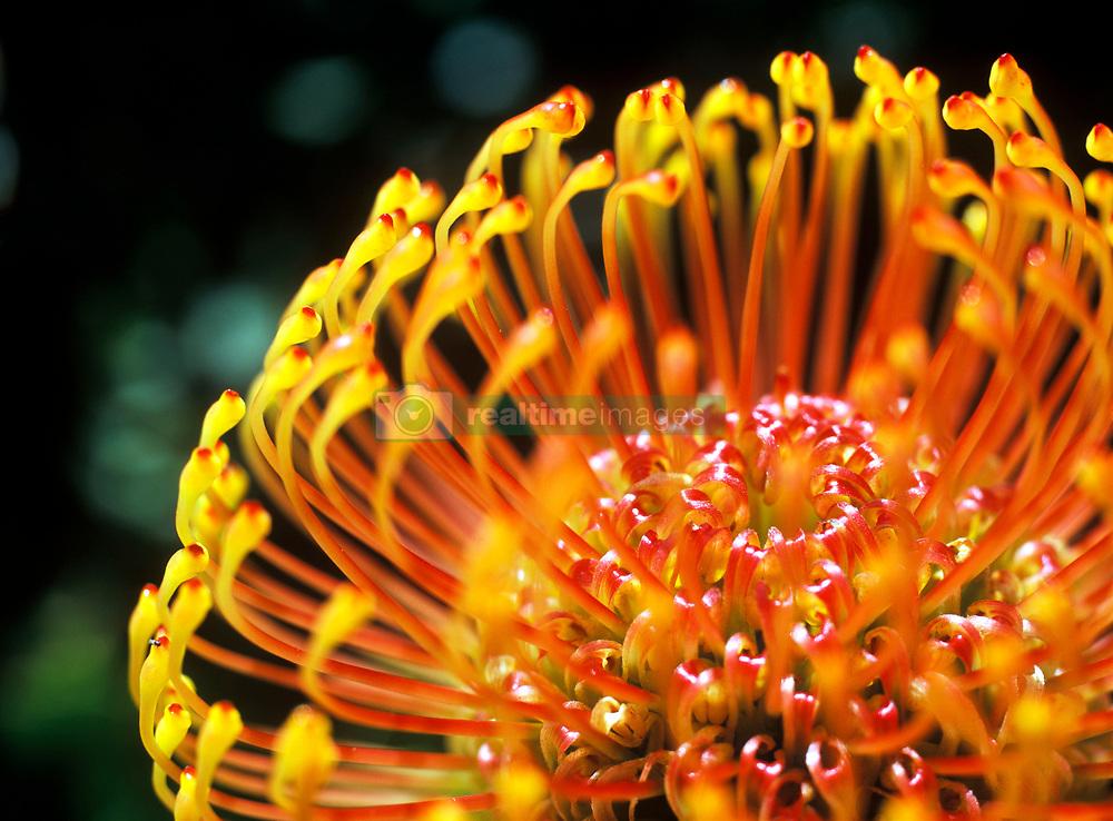 Detail of a Protea flower, Kirstenbosch Botanical Gardens, Cape Town, South Africa. (Credit Image: © Axiom/ZUMApress.com)