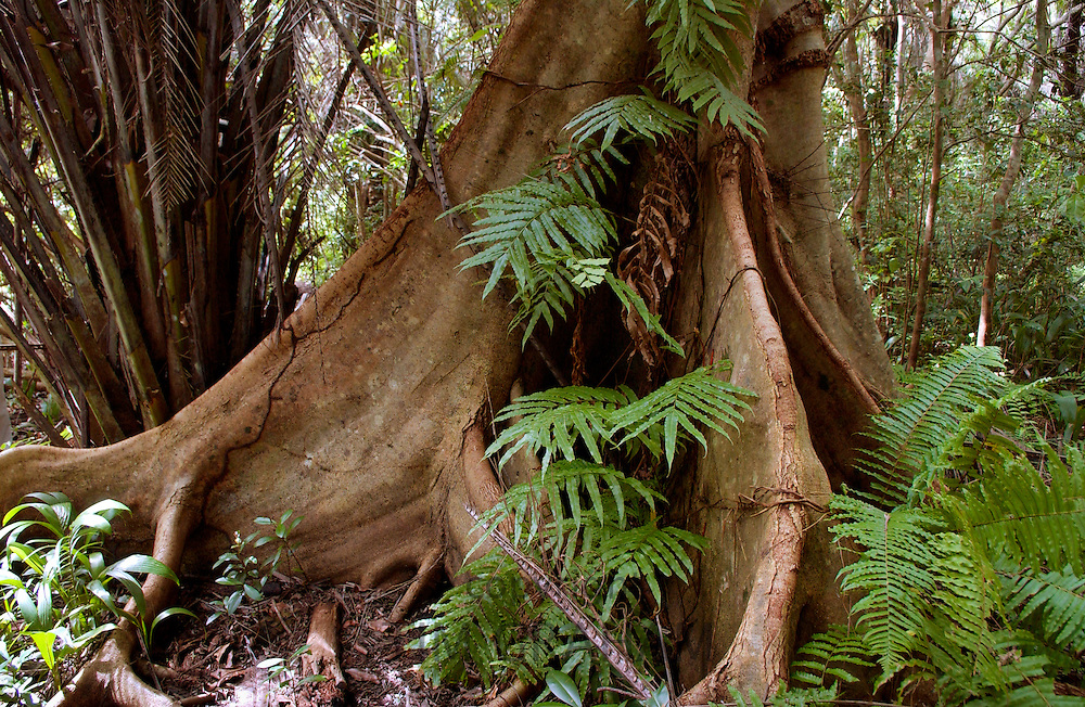 Sycamore Ficus (Fig) tree with buttress roots adapted for shallow soil, Jozani Forest, Zanzibar