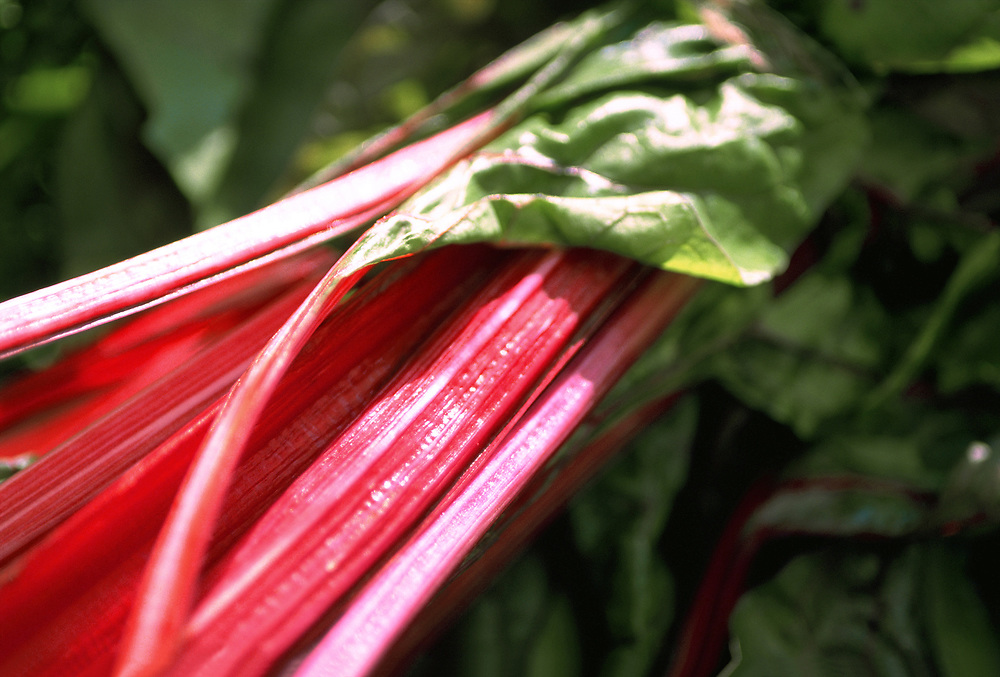 Extreme selective focus photograph of Red Swiss Chard stalks